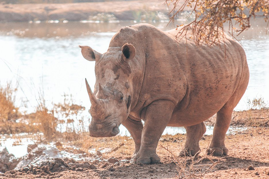 An adult Southern White Rhino at Hlane Royal National Park, Swaziland