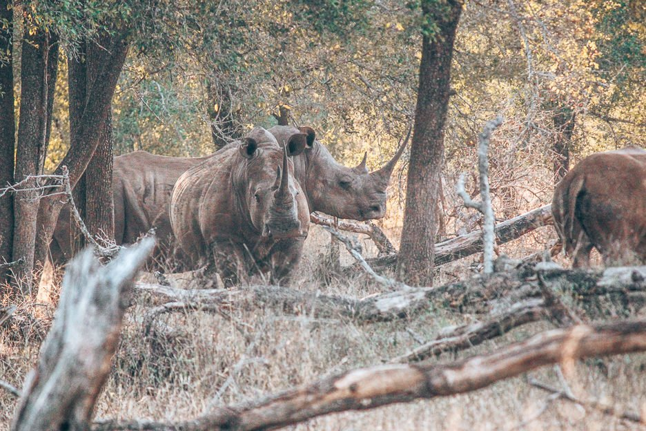 Two adult rhinoceros among the trees at Hlane Royal National Park, Swaziland