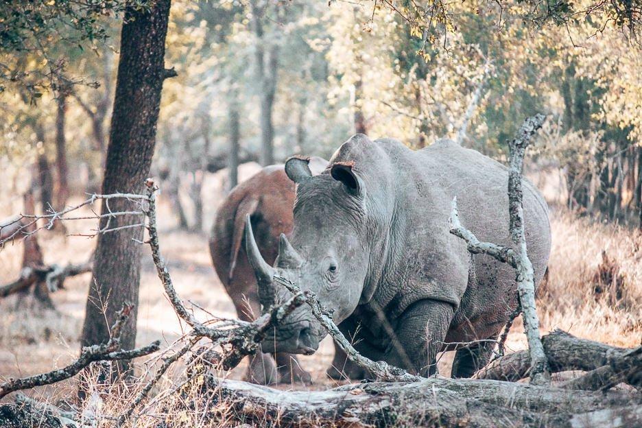Adult rhinoceros grazing in Hlane Royal National Park, Swaziland