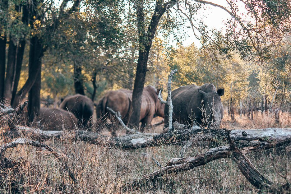 Four adult Southern White Rhinoceros from a distance at Hlane Royal National Park, Swaziland