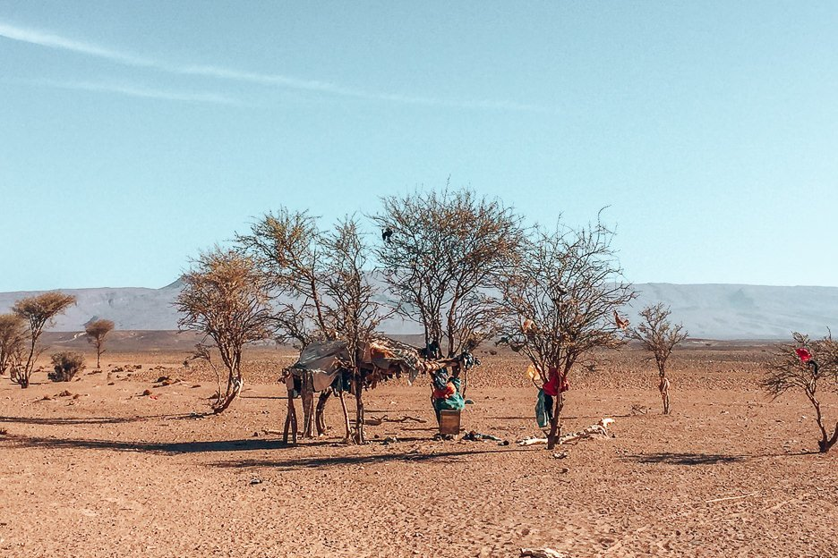 Camels and nomads rest under trees in the Sahara Desert, Morocco