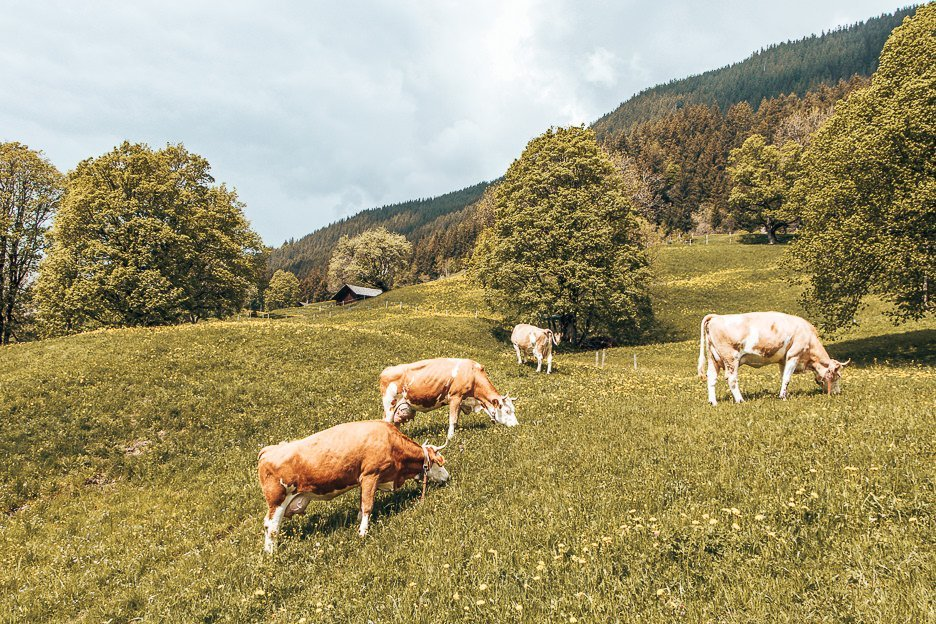 Cows grazing in Grindelwald, Switzerland