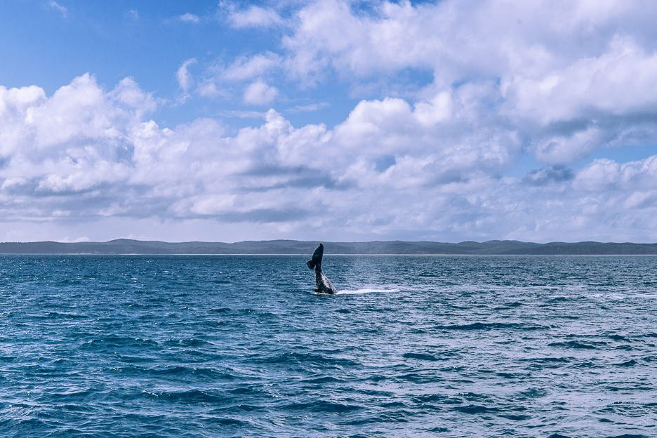 Whale Watching Hervey Bay | things to do in Hervey Bay