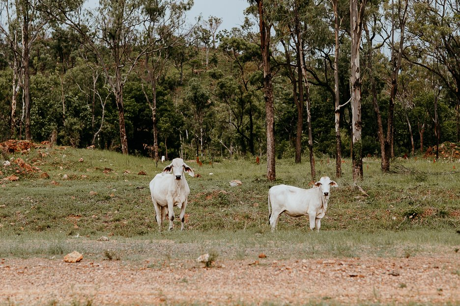 Cows by the side of the road in Chillagoe