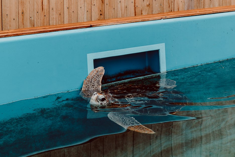 Sea Turtle at Cairns Rehabilitation Centre